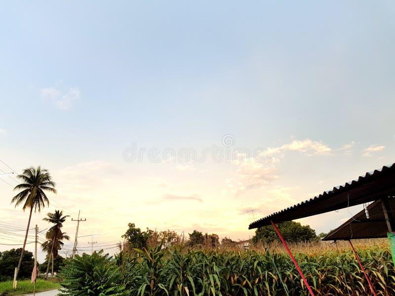 Wschód słońca i rośliny kukurudza zdjęcie royalty free