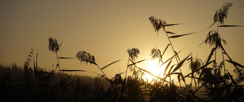 Wschód słońca i trzcina obrazy royalty free