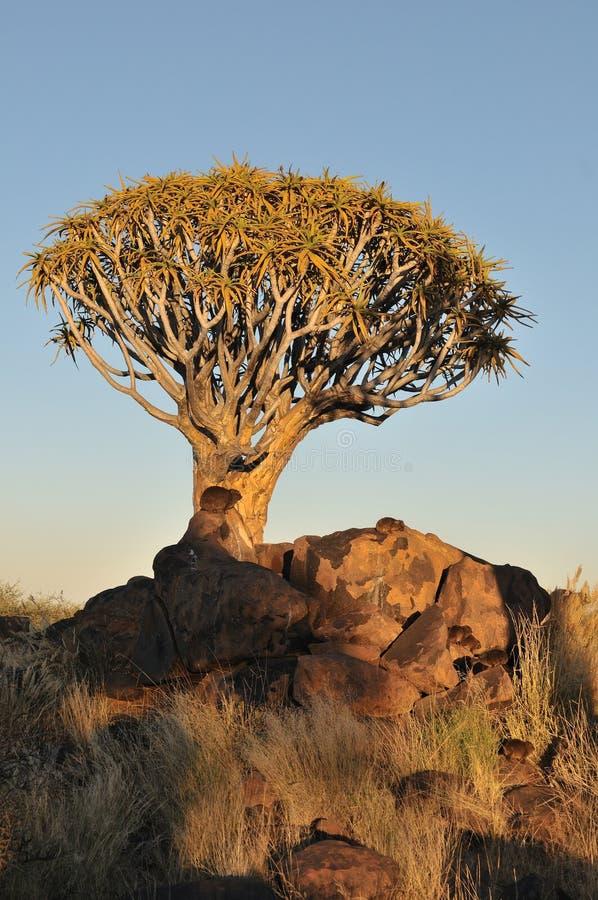 Wschód słońca przy Drzewnym Kołczanu Lasem, Namibia zdjęcie royalty free