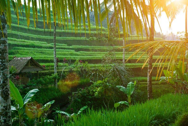 wschód słońca ryżowy taras zdjęcie stock