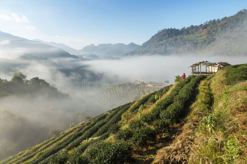 Wschód słońca w ranku z białą mgłą przy zielenią tarasował herbacianej plantaci Doi Ang 2000 khang północ Tajlandia obrazy royalty free