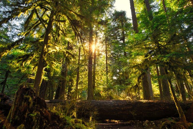 Wschód słońca w Wysokich drzewach Olimpijski Las Pa?stwowy obraz stock