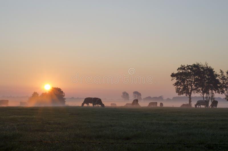 Wschód słońca z krowami fotografia royalty free