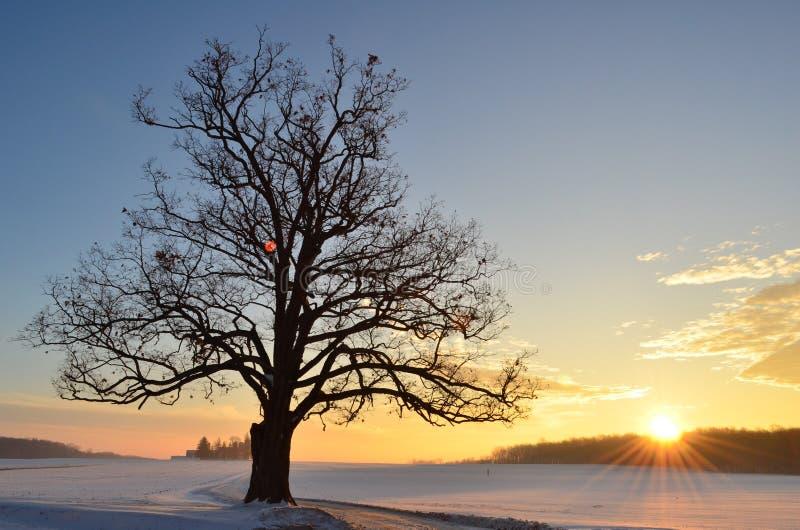 Wschód słońca za sylwetką Wielki stary dębowy drzewo wzdłuż wijącej przejażdżki na gospodarstwie rolnym w zimie obraz royalty free