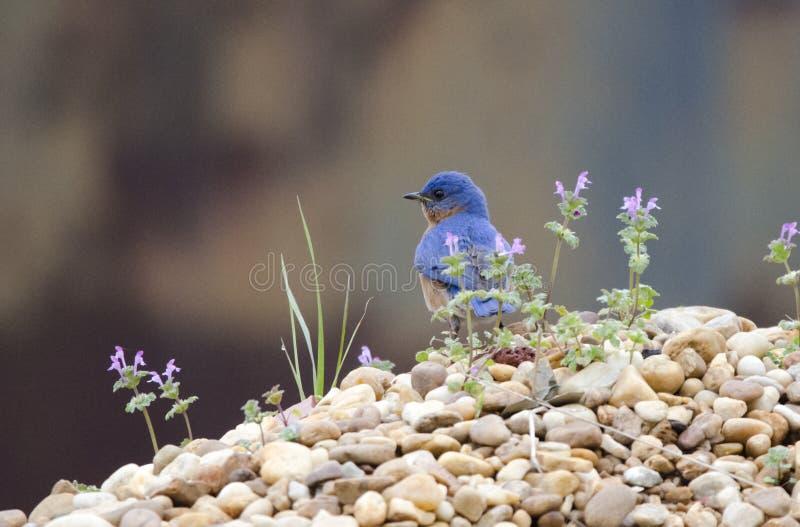 Wschodni Bluebird na skała stosie, Monroe Gruzja usa obraz royalty free