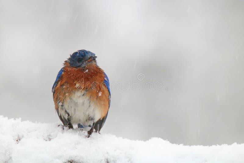Wschodni Bluebird w Śnieżnej zimy burzy zdjęcie royalty free