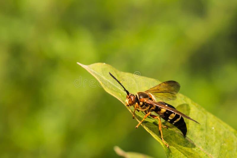 Wschodni cykada zabójca zdjęcie royalty free