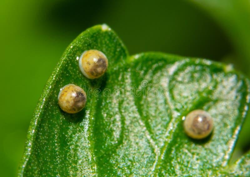 Wschodni Czarni Swallowtail motyli jajka na pietruszka liściu, przygotowywają eclose zdjęcia stock