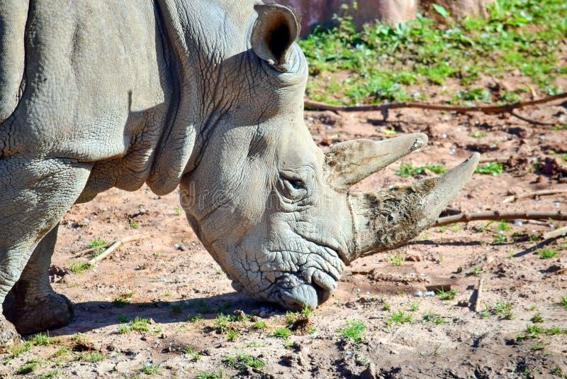 Wschodni Czarny nosorożec Diceros Bicornis Michaeli łasowania trawy zbliżenie obraz stock