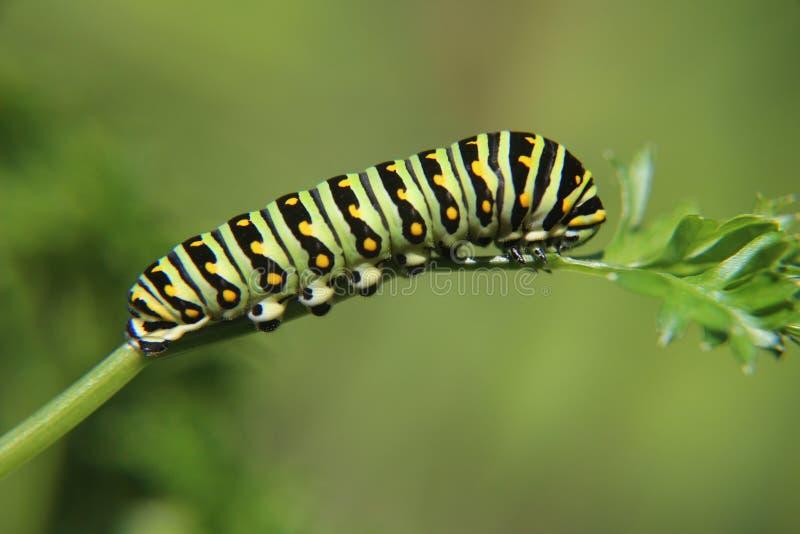 Wschodni Czarny Swallowtail Caterpillar fotografia stock