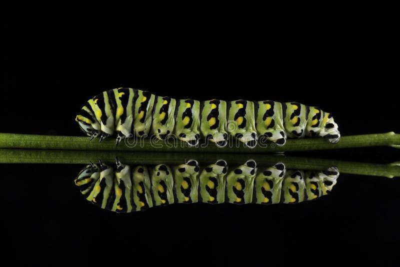 Wschodni Czarny Swallowtail Caterpillar na trzonie (Papilio polyxenes) obraz royalty free