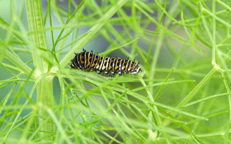 Wschodni Czarny Swallowtail Caterpillar obraz royalty free