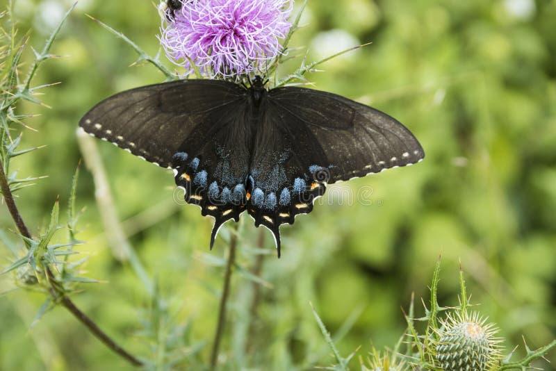 Wschodni Czarny Swallowtail karmienie na osetach fotografia royalty free