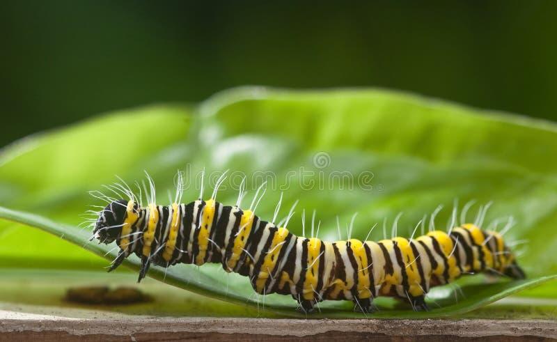 Wschodni Czarny Swallowtail motyl Caterpillar obraz royalty free