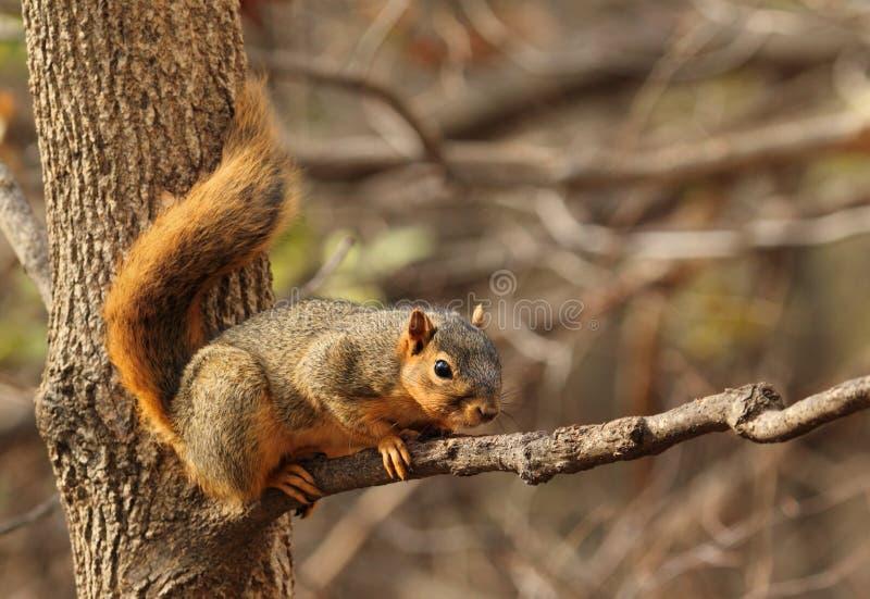 Wschodni Fox wiewiórka, Sciurus Niger obraz stock