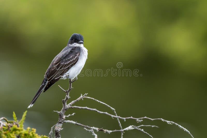Wschodni Kingbird umieszczający na cedrowej gałąź fotografia royalty free