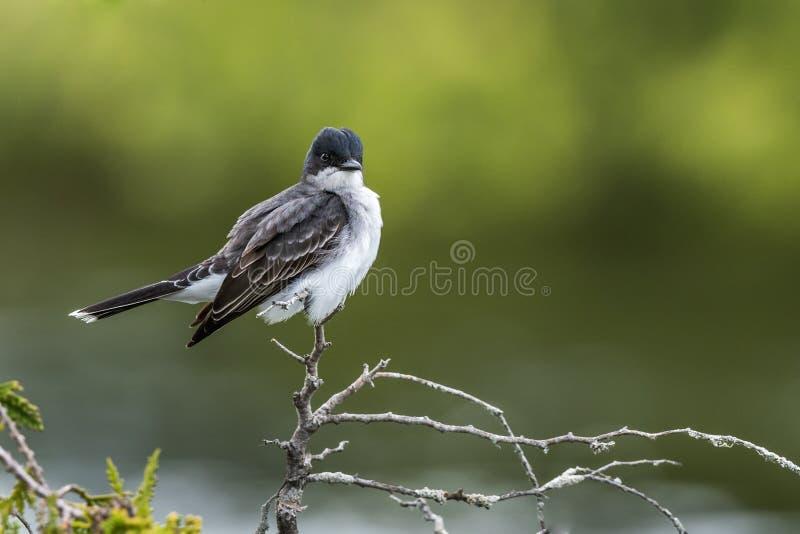 Wschodni Kingbird z piórkami wystawiającymi na cedr gałąź zdjęcia royalty free