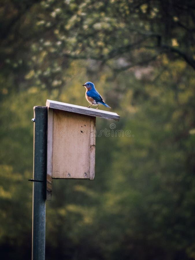 Wschodni Męski Bluebird Umieszczający na Birdhouse zdjęcie royalty free