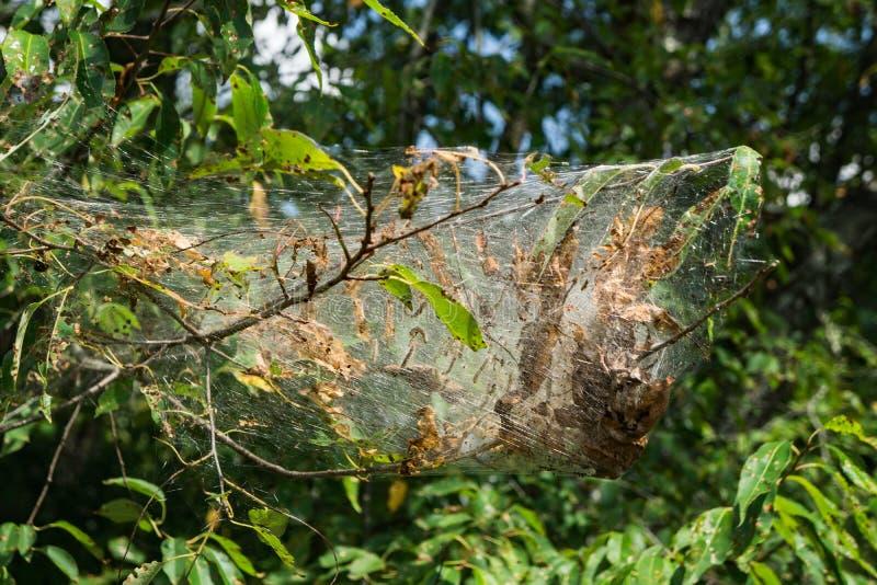 Wschodni Namiotowy Caterpillar Gniazduje †'Mallacoota americanum obraz royalty free