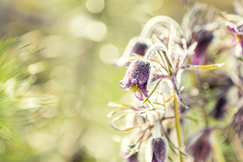 Wschodni pasqueflower, preryjny krokus, cutleaf anemon (Pulsatilla pratensis zdjęcia royalty free