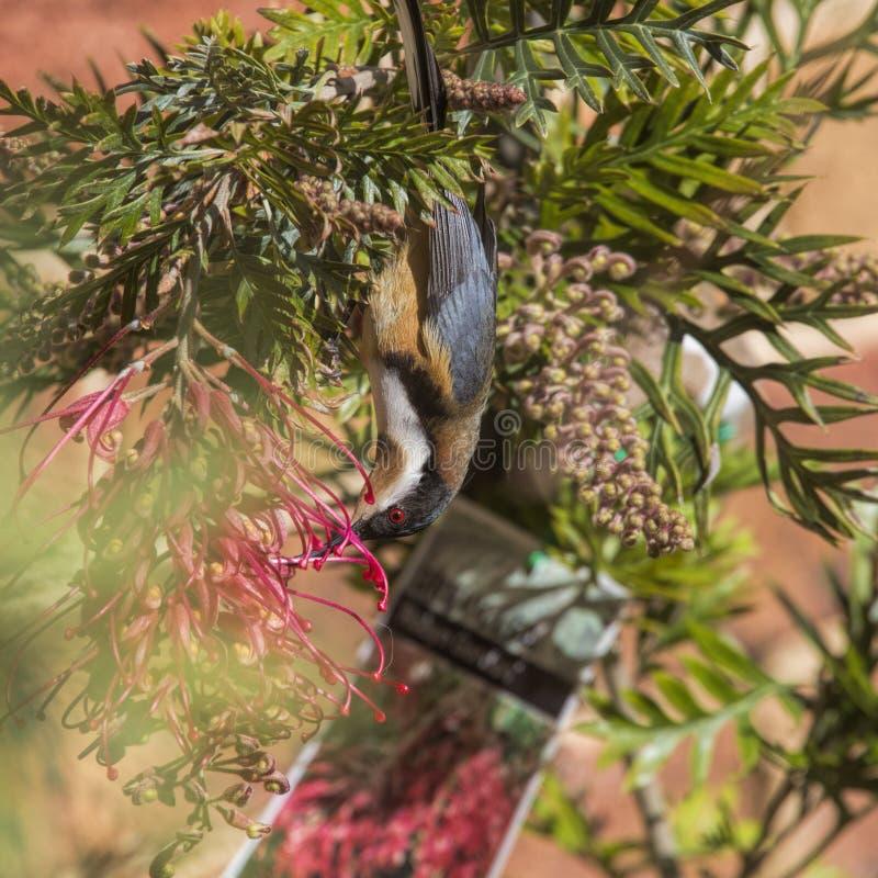 Wschodni spinebill obraz stock