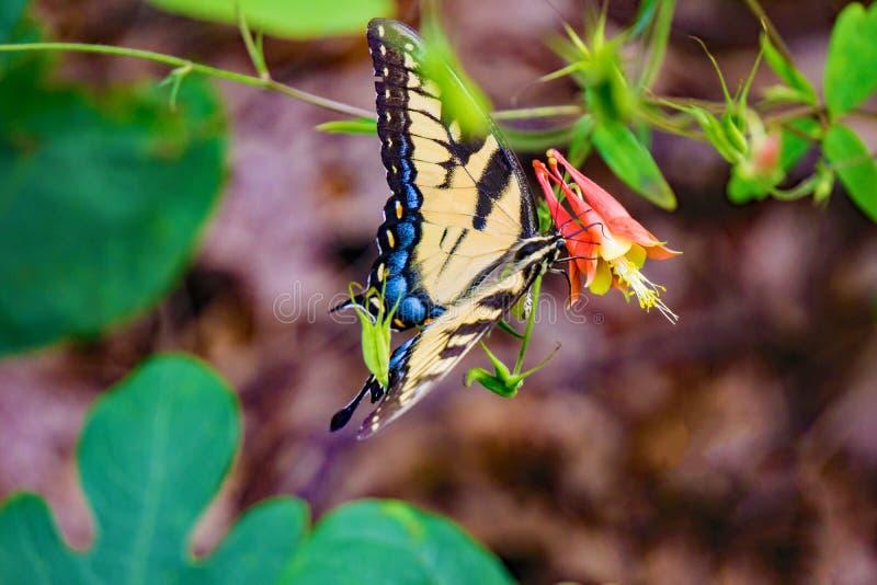 Wschodni Tygrysi Swallowtail i Dziki kolombiny Wildflower zdjęcia stock