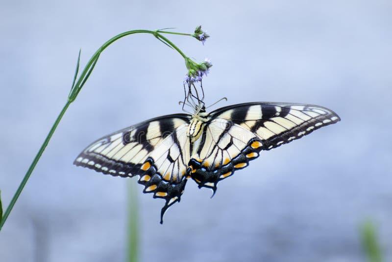 Wschodni Tygrysi Swallowtail motyl, Gruzja stanu motyl obrazy stock