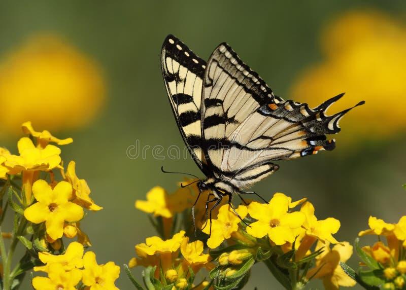 Wschodni Tygrysi Swallowtail nectaring na Oszronionym Puccoon obrazy royalty free