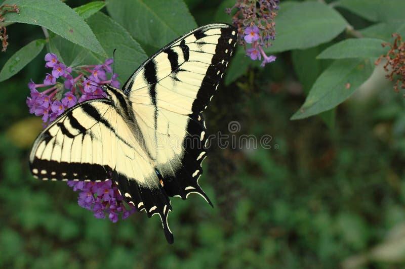 Wschodni Tygrysi Swallowtail (Papilio glaucus) fotografia royalty free