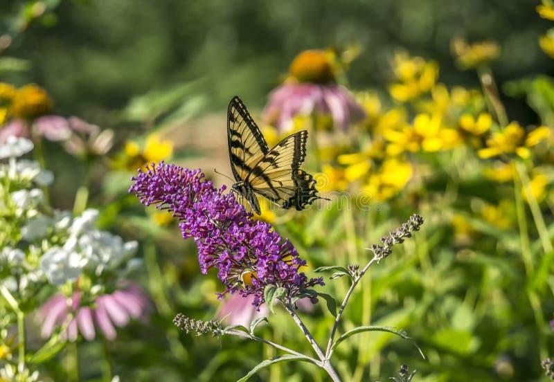 Wschodni Tygrysi Swallowtail, Papilio glaucus obraz stock