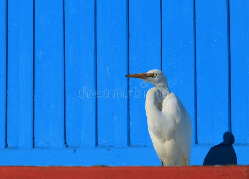 Wschodni Wielki Egret z błękitnym tłem zdjęcia royalty free