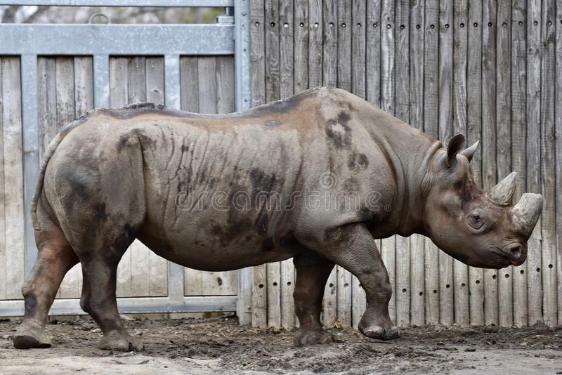 Wschodnia Afrykańska Czarna nosorożec zdjęcia royalty free