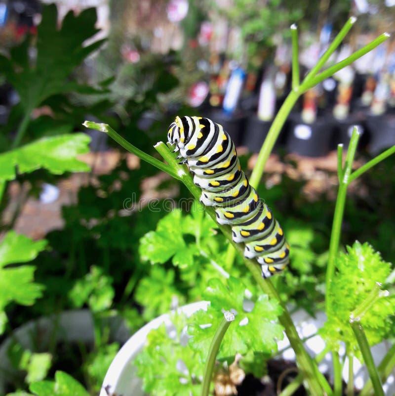 Wschodnia Czarna Swallowtail gąsienica na pietruszki roślinie obrazy royalty free