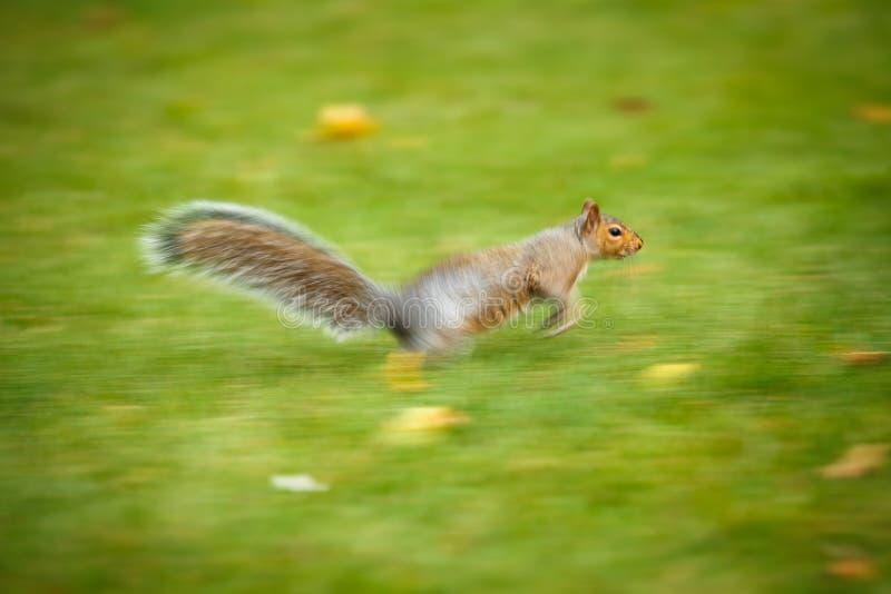 Wschodnia Popielata wiewiórka zdjęcie stock