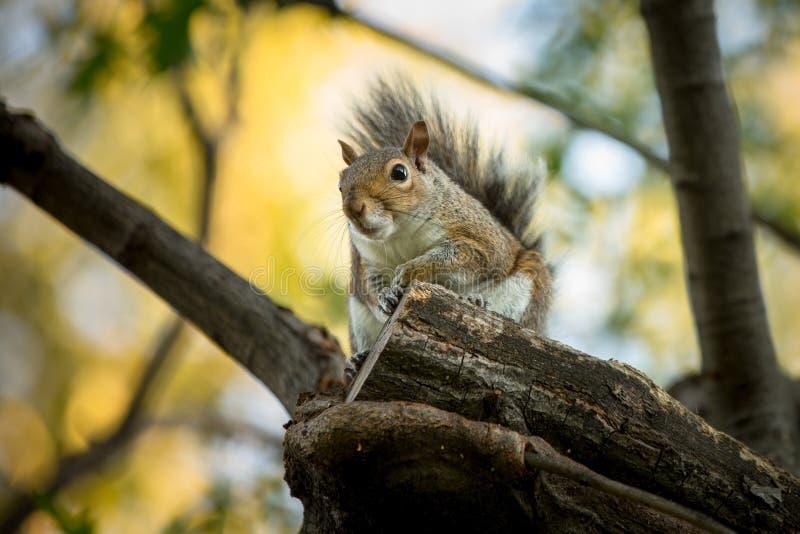 Wschodnia Popielata wiewiórka fotografia stock