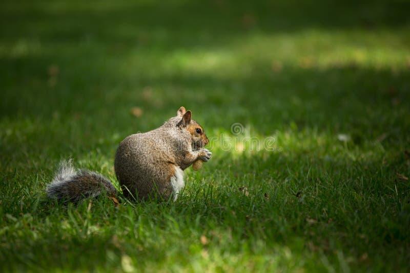 Wschodnia Popielata wiewiórka zdjęcie royalty free
