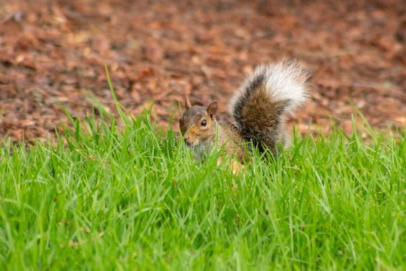 Wschodnia Popielata wiewiórka Chuje w Długiej Zielonej trawie zdjęcie royalty free