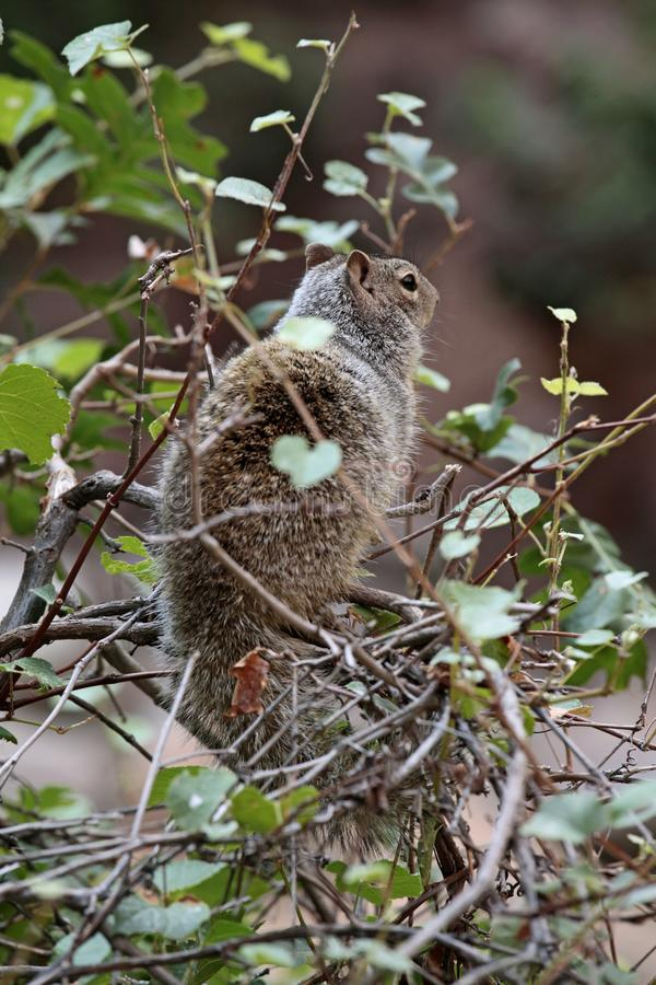 Wschodnia popielata wiewiórka, Zion park narodowy, Utah, usa zdjęcie stock