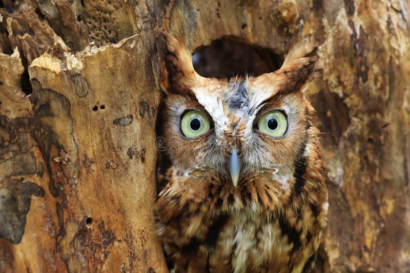 Wschodnia skrzeczenie sowa Umieszczająca w dziurze w drzewie obraz royalty free