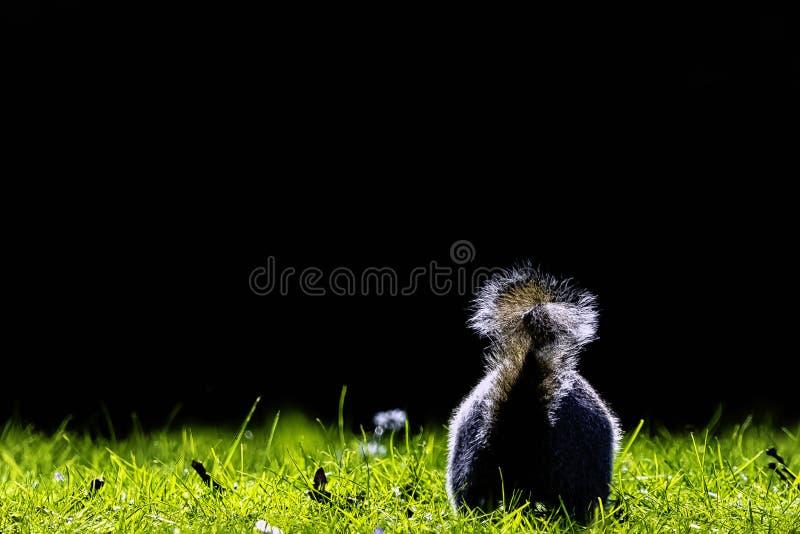 Wschodnich szarość squirrel/Sciurus carolinensis w Brytyjski parku fotografia royalty free