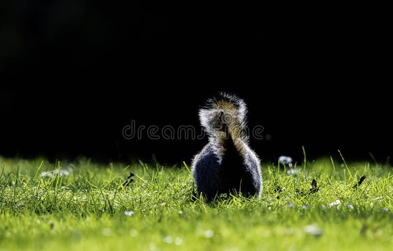Wschodnich szarość squirrel/Sciurus carolinensis w Brytyjski parku obraz stock