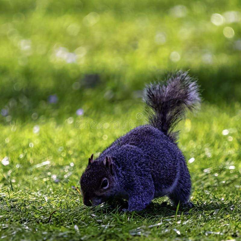 Wschodnich szarość squirrel/Sciurus carolinensis w Brytyjski parku obraz royalty free