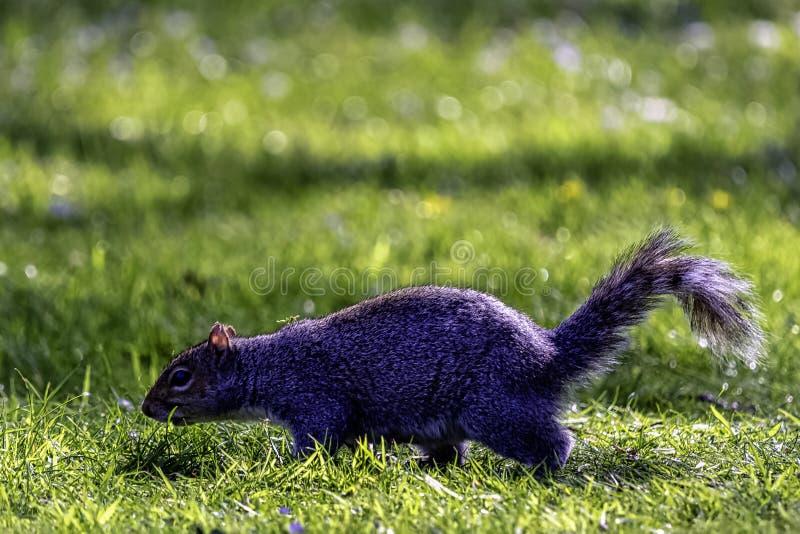 Wschodnich szarość squirrel/Sciurus carolinensis w Brytyjski parku fotografia stock