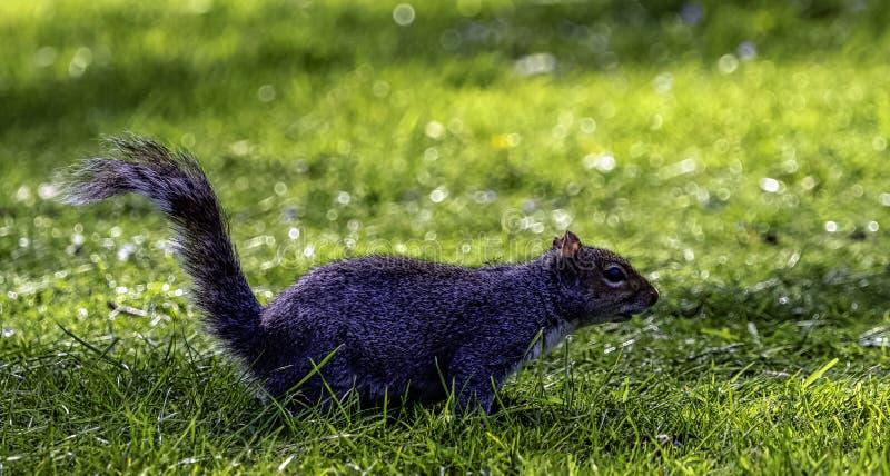 Wschodnich szarość squirrel/Sciurus carolinensis w Brytyjski parku obrazy royalty free