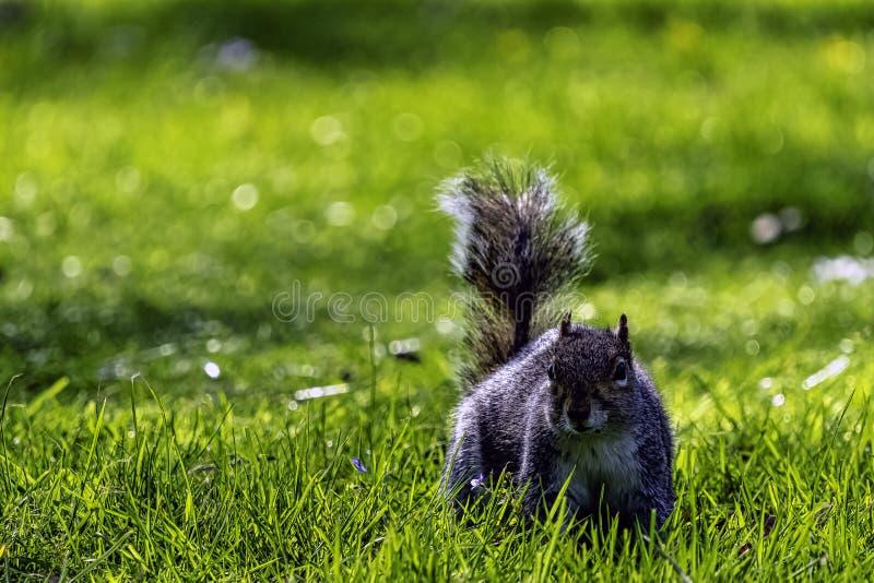 Wschodnich szarość squirrel/Sciurus carolinensis w Brytyjski parku zdjęcie stock