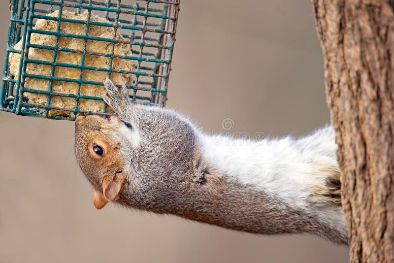 wschodnich szarość wiewiórka zdjęcia royalty free