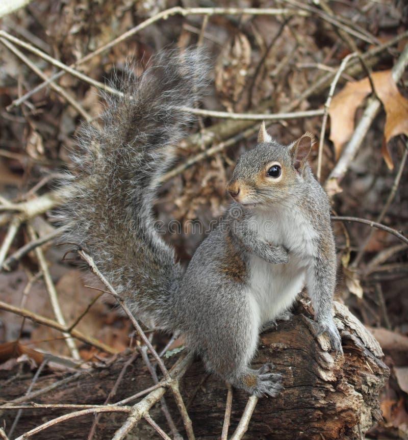 wschodnich szarość wiewiórka fotografia stock