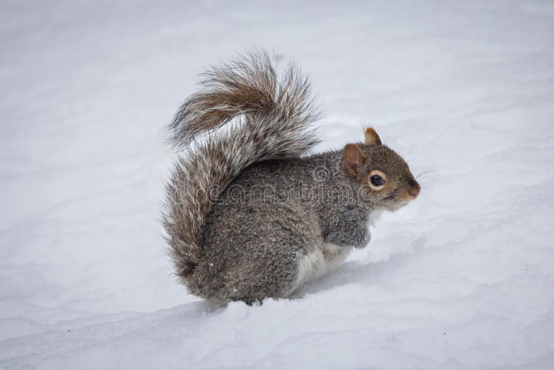 Wschodnich szarość wiewiórki Sciurus carolinensis w śniegu fotografia stock