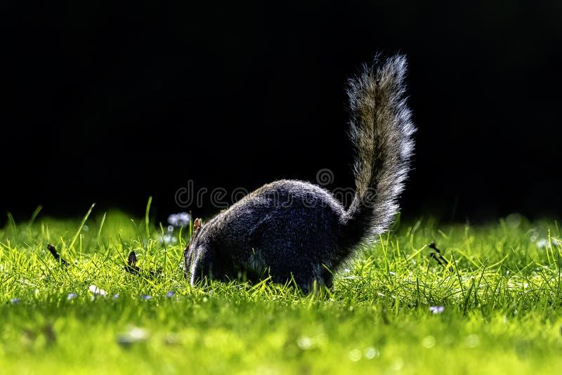 Wschodnich szaro?? squirrel/Sciurus carolinensis w Brytyjski parku zdjęcie royalty free