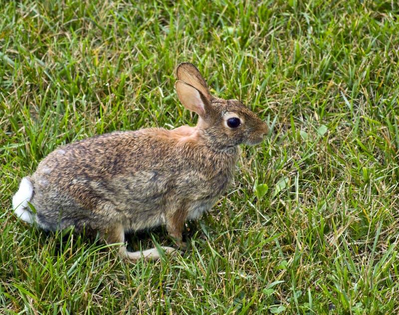 Wschodnie cottontail królik.